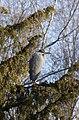 Heron Tree (4203913148).jpg