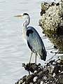 Heron at Kip Marina - geograph.org.uk - 457878.jpg