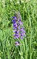 Herxheim am Berg Felsenberg-Berntal Nature Reserve orchid 039.jpg
