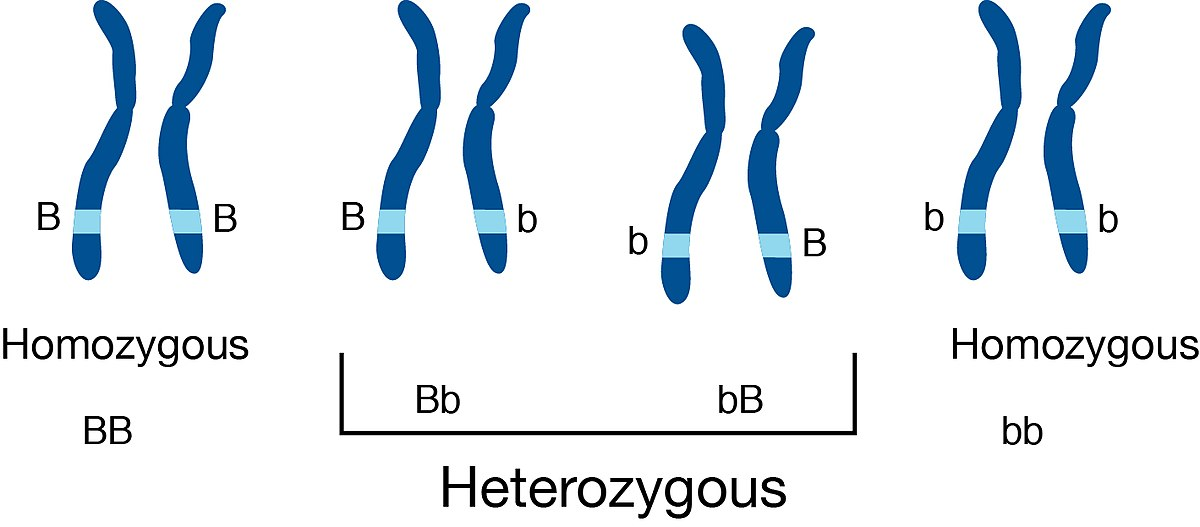 an organism is heterozygous at two genetic loci on different chromosomes The paired and replicated chromosomes are called bivalents or tetrads, which have two chromosomes and four chromatids, with one chromosome coming from each parent at this stage, non-sister chromatids may cross-over at points called chiasmata (plural singular chiasma.