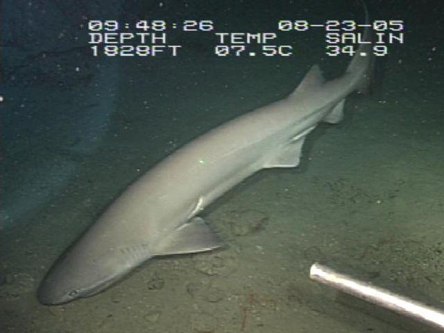 Sixgill Shark 640px-Hexanchus_griseus