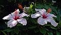 Hibiscus. Sicily, Italy.jpg