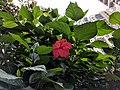 Hibiscus rosa-sinensis 38.jpg