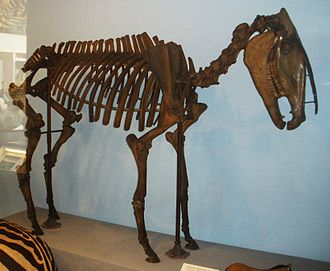 Hippidion - Skeleton in Natural History Museum, London