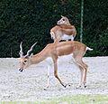 Hirschziegenantilope Antilope cervicapra Tierpark Hellabrunn-2.jpg