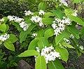 Holarrhena Pubescens Flowers.jpg