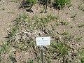 Holcus lanatus - Botanischer Garten München-Nymphenburg - DSC07872.JPG