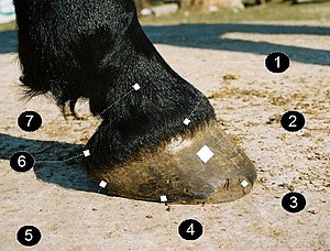 Horse hoof - Barefoot hoof, lateral view. Coronet band (1), walls (2), toe (3), quarter (4), heel (5), bulb (6), P2 (small pastern) (7)