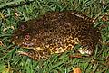 Hoplobatrachus rugulosus from Minanga - ZooKeys-266-001-g030.jpg