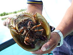 Horseshoe Crab 5.jpg