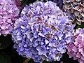 Hortensia (Hydrangea) (04).jpg