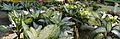 House Plant Show - Agri-Horticultural Society of India - Alipore - Kolkata 2013-11-10 4501-4503.JPG