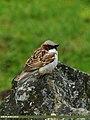 House Sparrow (Passer domesticus) (18462915274).jpg