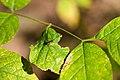 Hover Fly Parasite (26322697599).jpg