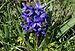 Hyacinthus orientalis et apis melifera.jpg