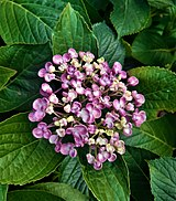 Hydrangea serrata-fully grown flowers with leaves.jpg