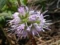 Hydrophyllum capitatum (7939896296).jpg