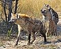 Hyenas on the Hunt (6002532662).jpg
