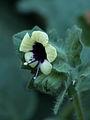 Hyoscyamus albus258.JPG