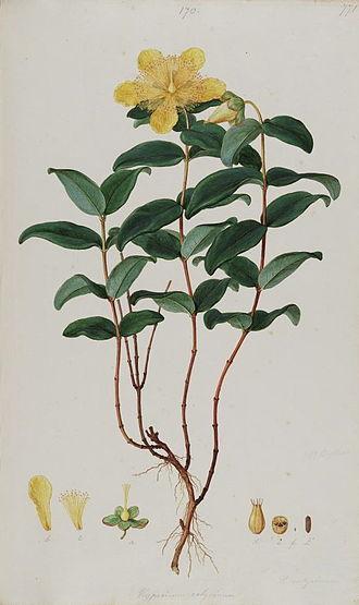 Hypericum calycinum - Bauer's Illustration from Sibthorp's Flora Graeca