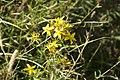 Hypericum perforatum-4371.jpg