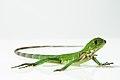 Iguana verde (Iguana iguana).jpg