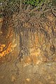 Ilex aquifolium - roots 01.jpg