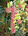 Ilex dimorphophylla - Quarryhill Botanical Garden - DSC03757.JPG