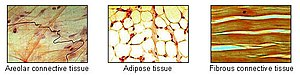 Adipose tissue - Adipose tissue is one of the main types of connective tissue.