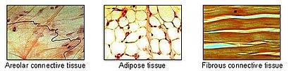 Illu connective tissues 1.jpg