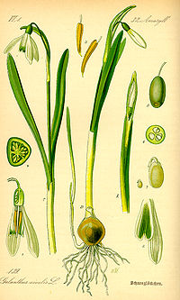 Illustration Galanthus nivalis0.jpg