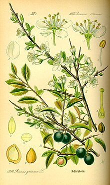 Illustration Prunus spinosa0.jpg