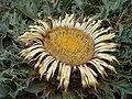 Image-Carlina acanthifolia 0002.jpg