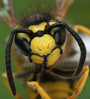 Description: Vespula is a small genus of socia...