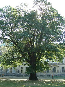 Image Northen Red Oak Dresden06.JPG