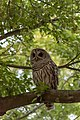 Innis Woods - Barred Owl 2.jpg