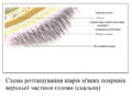 Integumenta regionis superioris cranii (lingua Ukraina).png