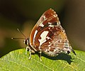 Iraota timoleon arsaces – Silverstreak Blue (1).jpg
