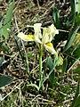 Iris humilis subsp. arenaria sl2.jpg