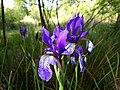 Iris sibirica sl19.jpg