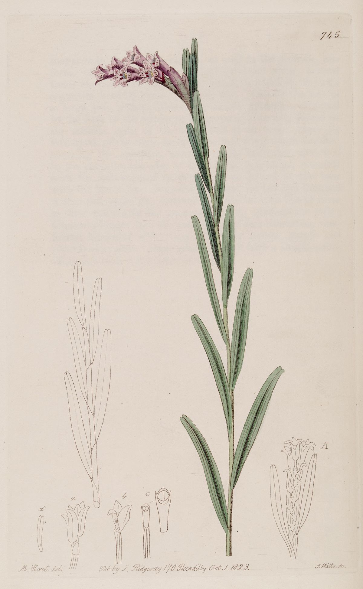 Isochilus Linearis Wikispecies