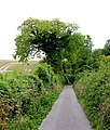 Ivy-covered Oak in The White Way - geograph.org.uk - 53196.jpg