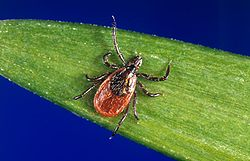 xodes scapularis, one of the other tick vectors of Lyme disease