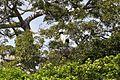 Jabiru Storks (7007564685).jpg