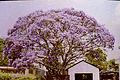 Jacaranda Tree, Salisbury, Rhodesia ca1970s 7022047409.jpg