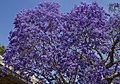 Jacaranda are mostly Purple-02 (22698486876).jpg