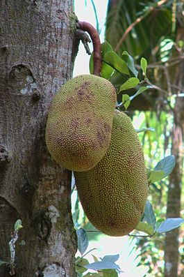 Die Jackfrucht wächst direkt am Stamm des Baumes
