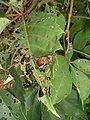 Japanese Beetles 4.JPG
