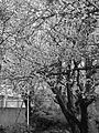 Japanese Cherry Blossom -桜- (3431239260).jpg