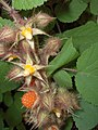 Japanese Wineberry (2996141011).jpg